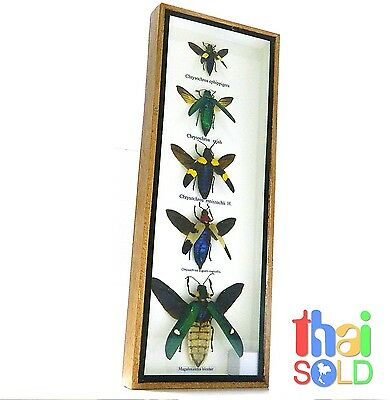 Assorted 5 Chrysochroa Beetle flying Insect Taxidermy in Wood box 160528