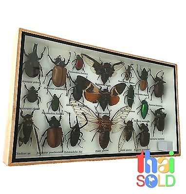 Assorted 20  Real and Rare Insects Taxidermy in Wooden Box 160122