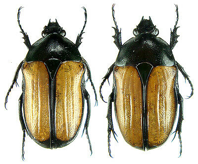 Large Pair ....!! Insect Cameroon Synagris cornuta