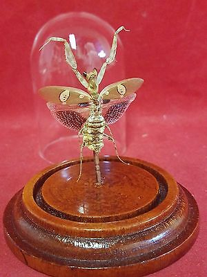 *Jeweled Flower Mantis Creobroter gemmatus Male Spread dome display-entomology