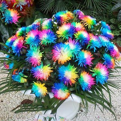 100PC Rainbow Chrysanthemum Flower Seeds Ornamental Bonsai Rare Color Plant