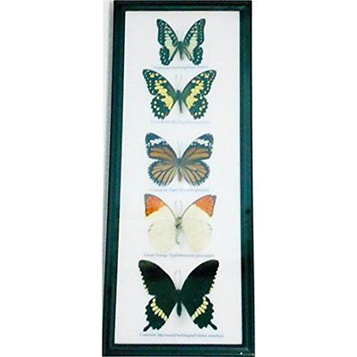 REAL Wall Decor Butterflies Wall decor Hanging Collection Taxidermy frame