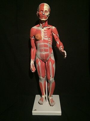 3B Scientific, 1/2 Life-Size Complete Dual Sex Muscle Model, 33-part Model