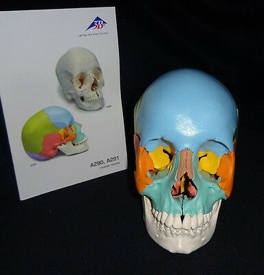 3B Scientific A291 Beauchene Adult Human Skull Model Didactic Colored 22 part