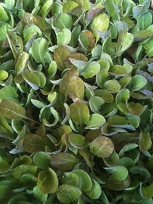 Mixed Cabbage Plant Plugs (10 plants from £5.99)