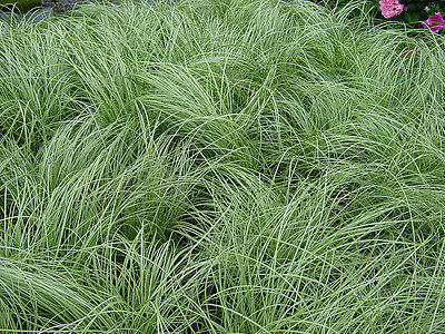 5 x PLANTS  FROSTED CURLS GRASS ORNAMENTAL PERENNIAL GRASSES