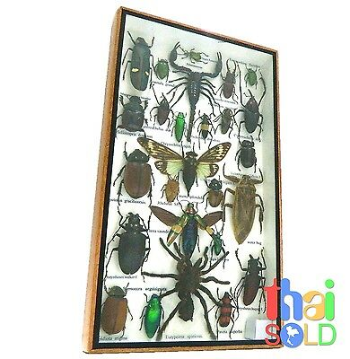 Assorted 26 Real and Rare Insects Taxidermy in Wooden Box 160705