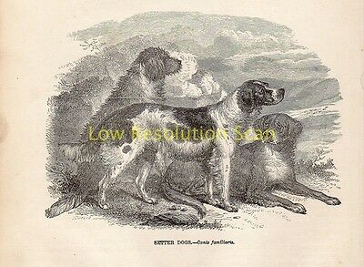 Setter Dogs Antique Print Engraving Natural History Mammalia 1862