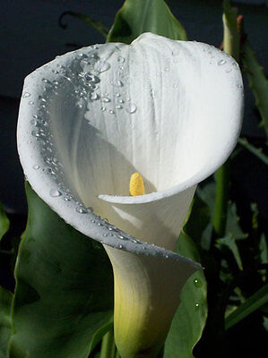 ARUM LILY PLANTS IN 9cm POTS FROM £5.99