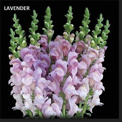 Fresh snapdragons, Mothers day flowers, Snapdagons, Fresh flowers, Flowers