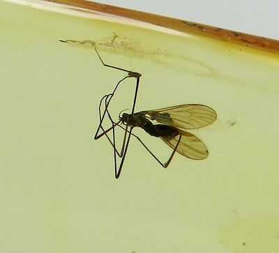 Fossil insect Great GNAT inclusion in Natural Genuine BALTIC AMBER stone