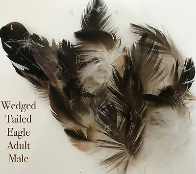 Wedged Tailed Eagle  Real Feathers  - X 20 Pieces -  - Australian