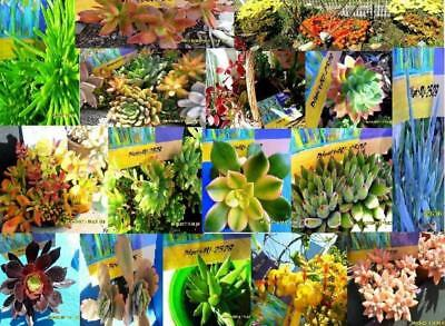 Succulent  Mixed Variety 30 different Cuttings Starter Packs $42 Free Post