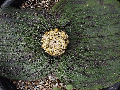 Massonia pustulata spotted form, 3 one-year-old bulbs