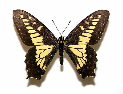 Insect Butterfly Moth Papilionidae Papilio zelicaon mcdunnoughi-Very Rare-No. 44
