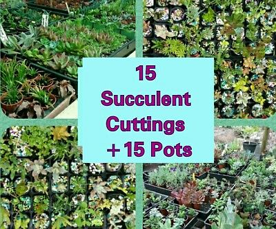 15 ALL DIFFERENT  Succulent Cuttings + 15 Pots.  NO DOUBLEUPS.