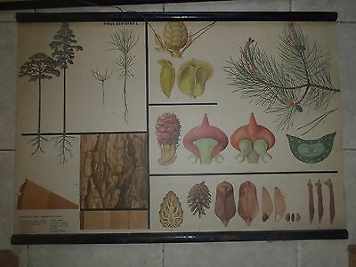 Original vintage zoological pull down school chart of The Scots pine biology