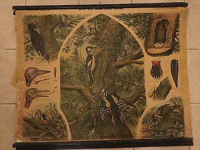 Original vintage zoological pull down school chart of Woodpecker , A. Kull