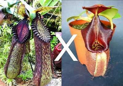 Nepenthes hamata x robcantleyi SEED GROWN - ULTRA RARE carnivorous pitcher plant