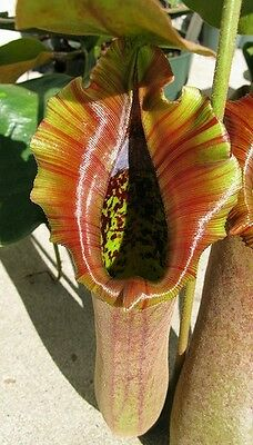 HUGE Nepenthes truncata SEED GROWN - EXTREMELY RARE carnivorous pitcher plant