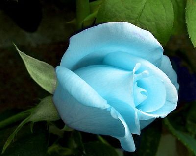 50 Pcs Blush Blue Rose Flower Seeds Garden Plant Rose Flower Seed Home New