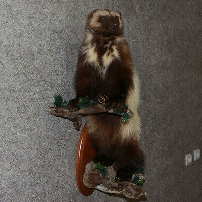 Russian Wolverine - Taxidermy Mount, Stuffed Animal For Sale - Glutton