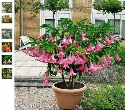 Poeetd plant Brugmansia flower Angel Trumpet fragrant Datura tree seeds 100pcs