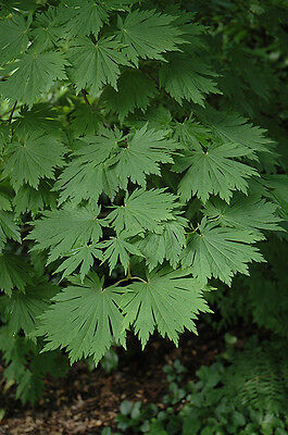 Acer japonicum Attaryi in 7cm pot ideal bonsai subject