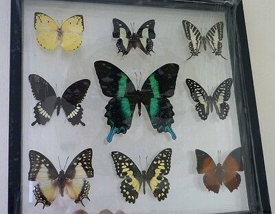 Real Rare 9 Butterfly Insect Display Taxidermy in Black Frame Collectible Gift