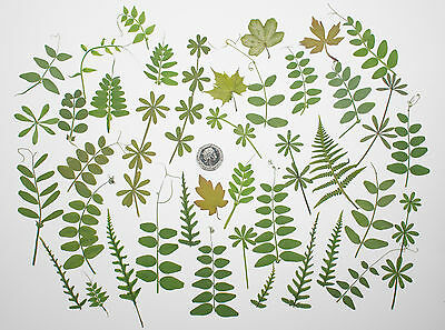 50 Mixed Real Pressed Leaves Flower Embelishments Card making Scrapbooking Green