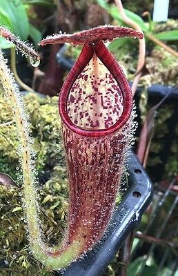 BIG Nepenthes glandulifera SEED GROWN - EXTREMELY RARE carnivorous pitcher plant