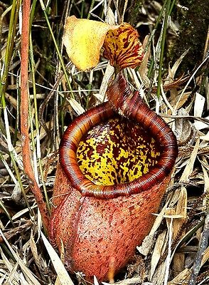 Nepenthes palawanensis SEED GROWN - EXTREMELY RARE carnivorous pitcher plant
