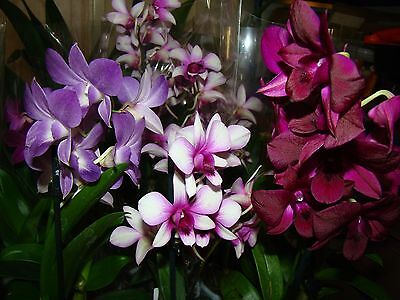 2 x Dendrobium Mix Flowering Orchid