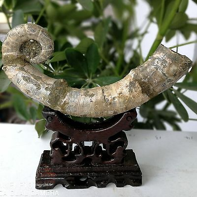 "NEW LISTING 237g Rare!!! Natural  ""elephant trunk-conch"" fossil Madagascar"