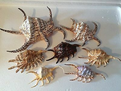 Strombidae Lambis Spider Conch Collection