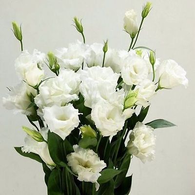 80 Rare White Eustoma Seeds Perennial Flower Plants Balcony Flowers Potted Seed
