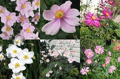 SEEDS - JAPANESE WIND FLOWERS aka ANEMONE OPEN POLLINATED MIXED COLORS/VARIETIES