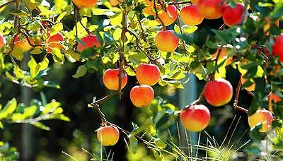 Fruit Tree Books Collection - Grow Fruit Trees etc - 30 Classic Books on CD-ROM