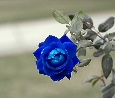 50 pcs 'Princess' Blue Rose Plant Perennial Flower Seeds, Professional Pack