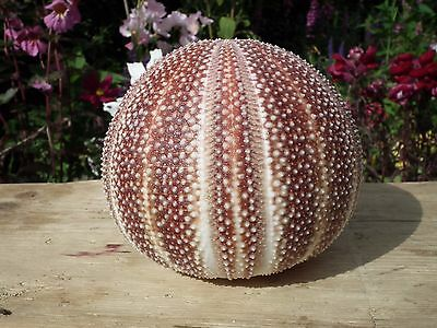 Extra Large English  Channel Sea Urchin  Shell Nautical
