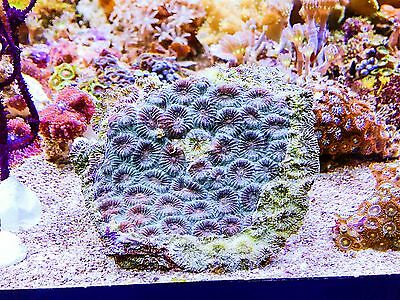 Green and Red Moon Coral CLEARANCE Frag  Reef tank LPS Marine Aquarium
