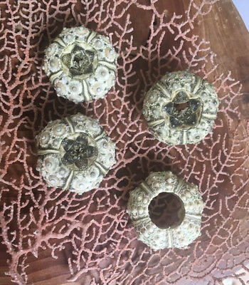 Green Sputnik Sea Urchins Phyllacanthus Imperialis (6 pack) Beach Craft Decor