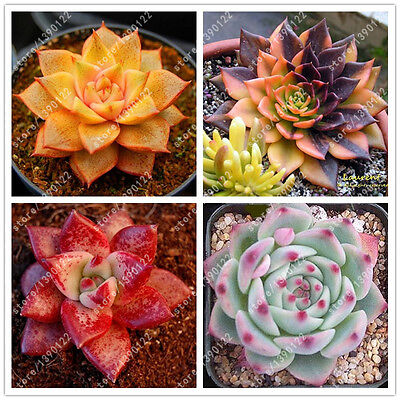 HOTSALE ECHEVERIA variety mix ! rare plant exotic succulent seeds pot 100pcs/bag