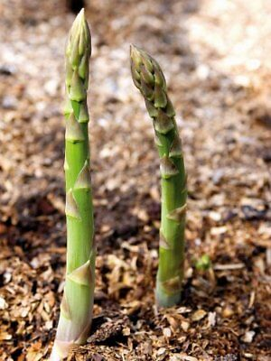Vegetable Asparagus Connovers Colossal 200 Finest Seeds
