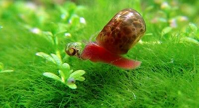 10 x Brown  spotted ramshorn snails  for aquarium or pond