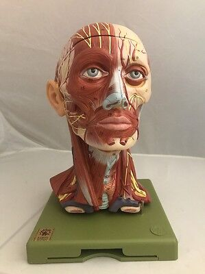 SOMSO Head Model With Muscles And Vessels and Brain Anatomical Model BS18
