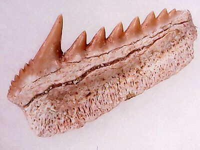 Shark Tooth - Hexanchus Microdon Laterale Inf Male