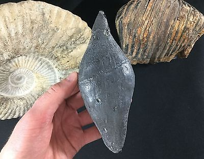 HUGE Fossil Cetacean Tooth, 6.75 inches - South Carolina, USA, Megalodon Era