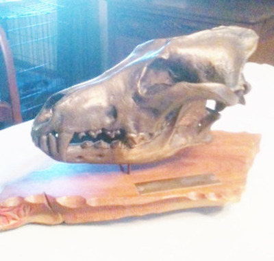 Bronze Wolf Scull casting