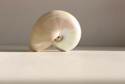 Real XL Large Pearl Nautilus Shell - Sea Shells - Natural Home Decoration- Mothe